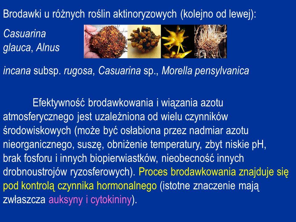 Brodawki u różnych roślin aktinoryzowych (kolejno od lewej):