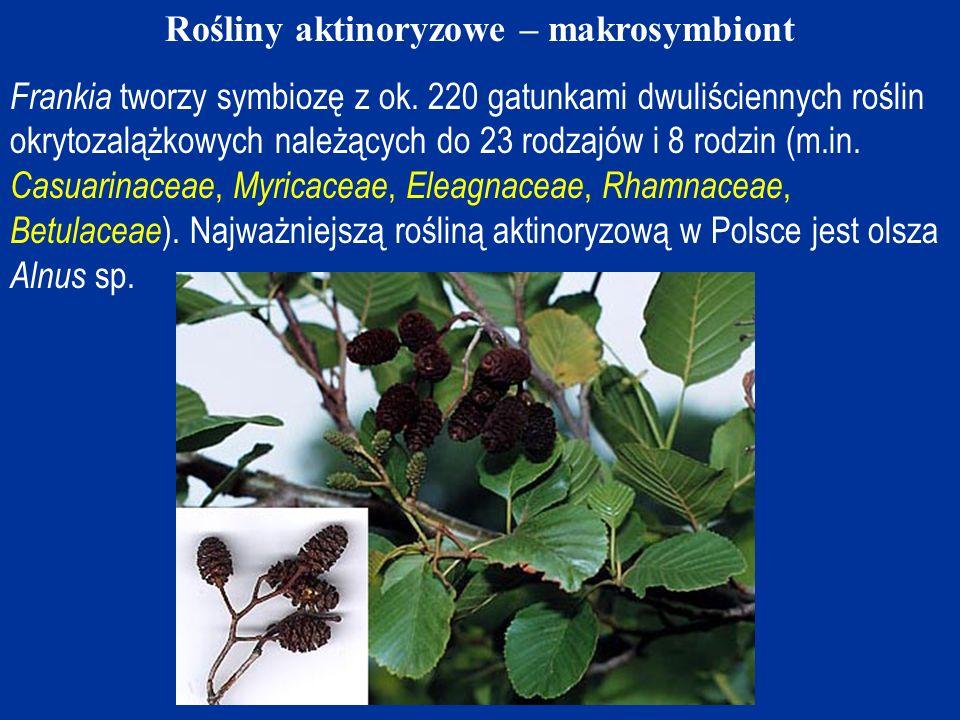 Rośliny aktinoryzowe – makrosymbiont
