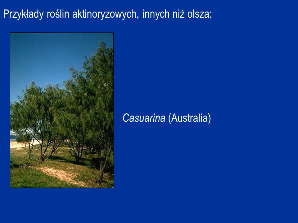 Przykłady roślin aktinoryzowych, innych niż olsza: