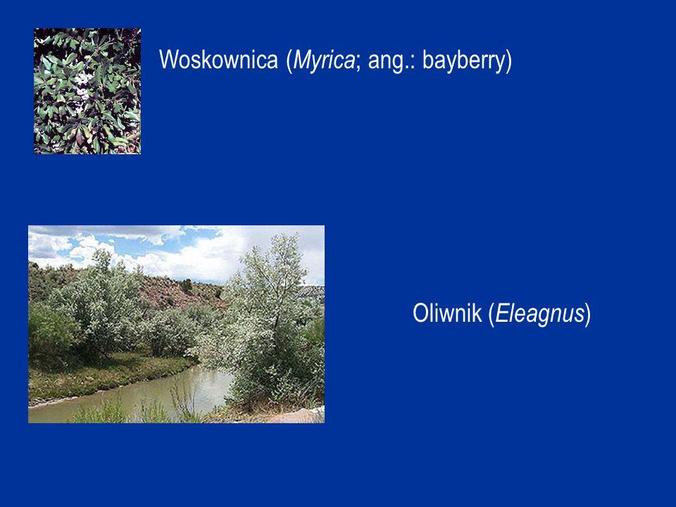 Woskownica (Myrica; ang.: bayberry)