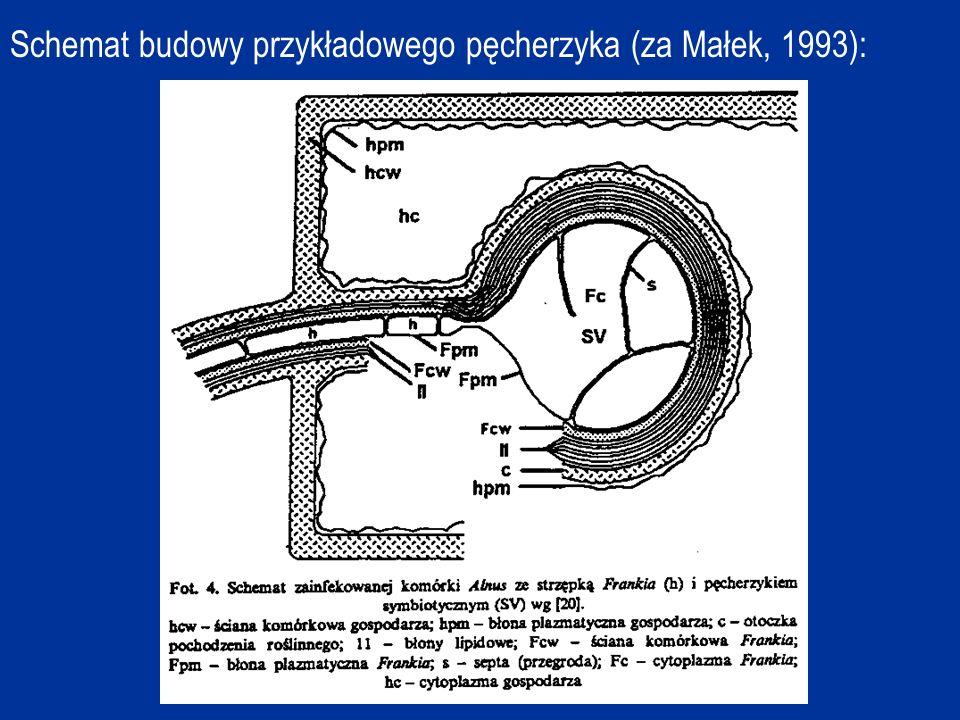 Schemat budowy przykładowego pęcherzyka (za Małek, 1993):