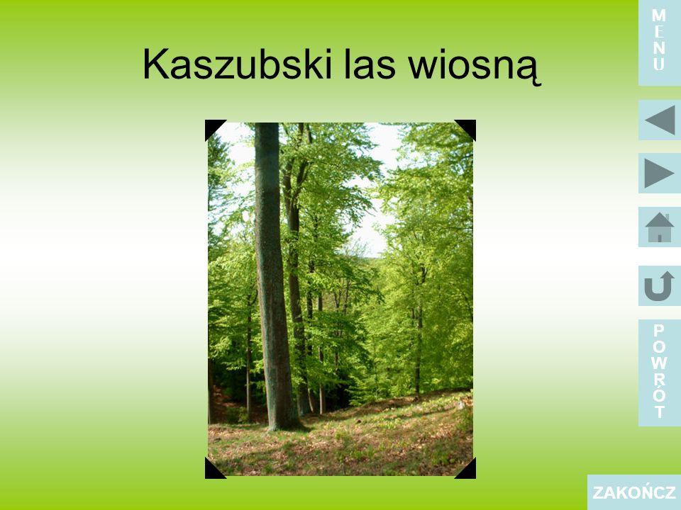 M E N U Kaszubski las wiosną P O W R Ó T ZAKOŃCZ