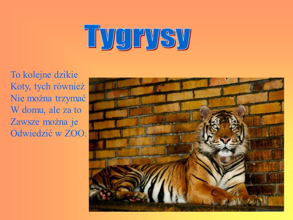 Tygrysy To kolejne dzikie Koty, tych również Nie można trzymać