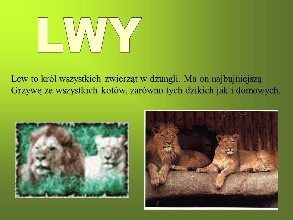 LWY Lew to król wszystkich zwierząt w dżungli. Ma on najbujniejszą