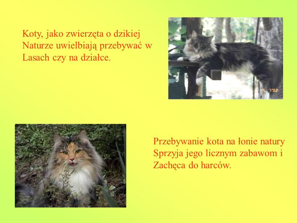 Koty, jako zwierzęta o dzikiej