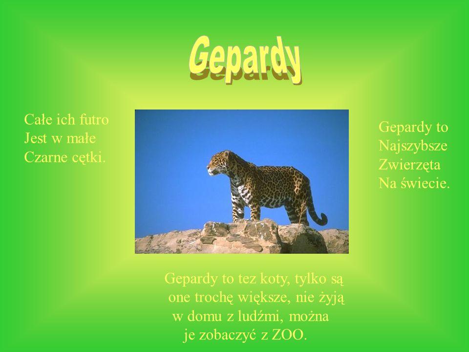 Gepardy Całe ich futro Gepardy to Jest w małe Najszybsze Czarne cętki.