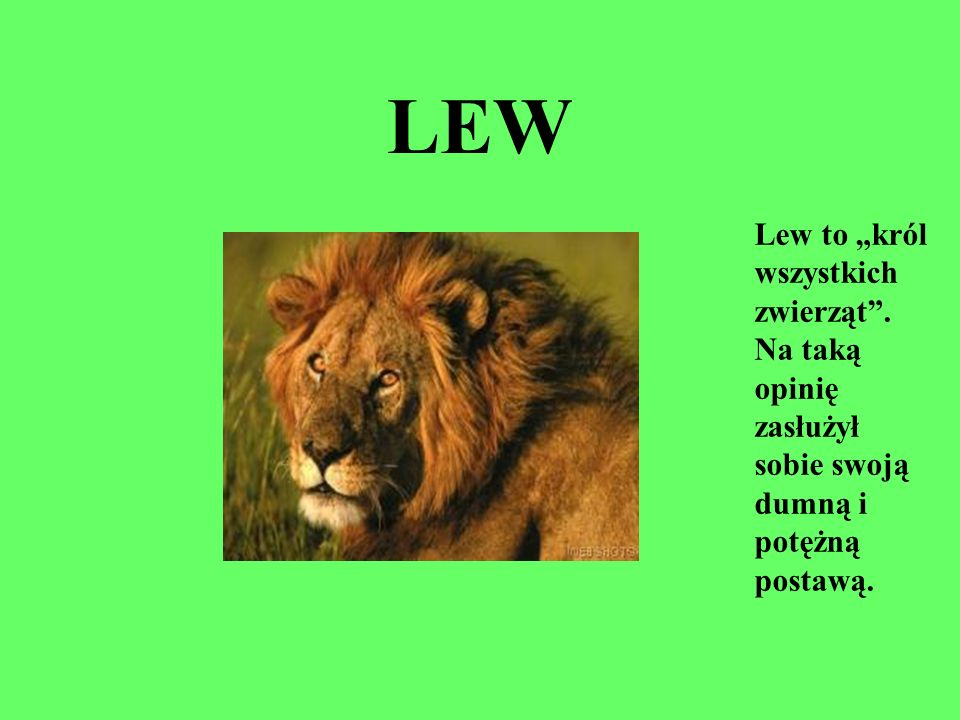 """LEW Lew to """"król wszystkich zwierząt . Na taką opinię zasłużył sobie swoją dumną i potężną postawą."""