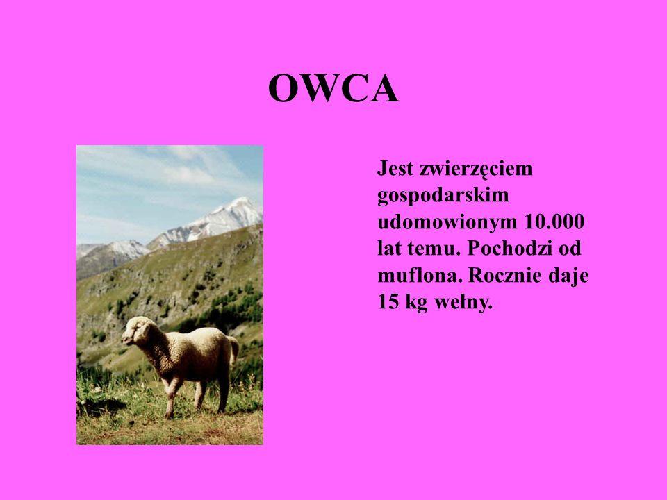 OWCAJest zwierzęciem gospodarskim udomowionym 10.000 lat temu.