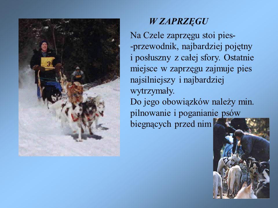 W ZAPRZĘGU Na Czele zaprzęgu stoi pies- -przewodnik, najbardziej pojętny. i posłuszny z całej sfory. Ostatnie.