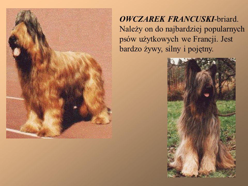 OWCZAREK FRANCUSKI-briard.