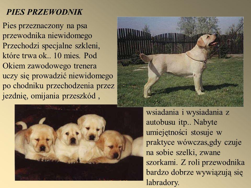 PIES PRZEWODNIK Pies przeznaczony na psa. przewodnika niewidomego. Przechodzi specjalne szkleni, które trwa ok.. 10 mies. Pod.