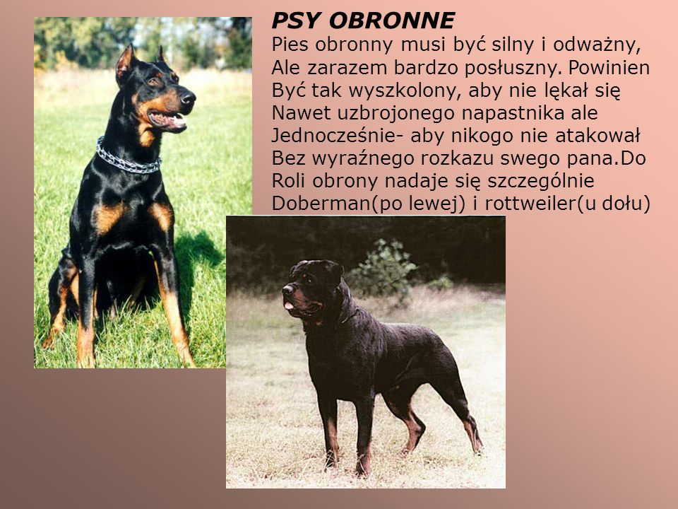 PSY OBRONNE Pies obronny musi być silny i odważny,