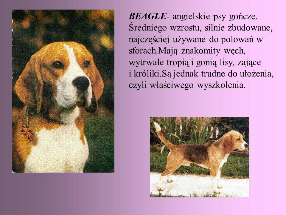 BEAGLE- angielskie psy gończe.