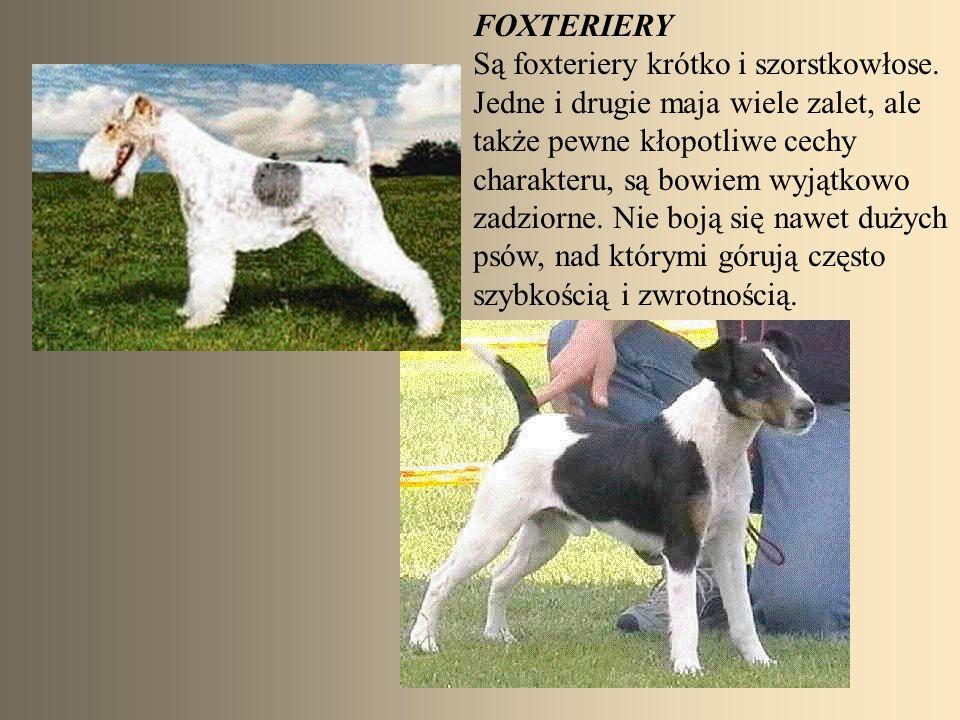 FOXTERIERY Są foxteriery krótko i szorstkowłose. Jedne i drugie maja wiele zalet, ale. także pewne kłopotliwe cechy.