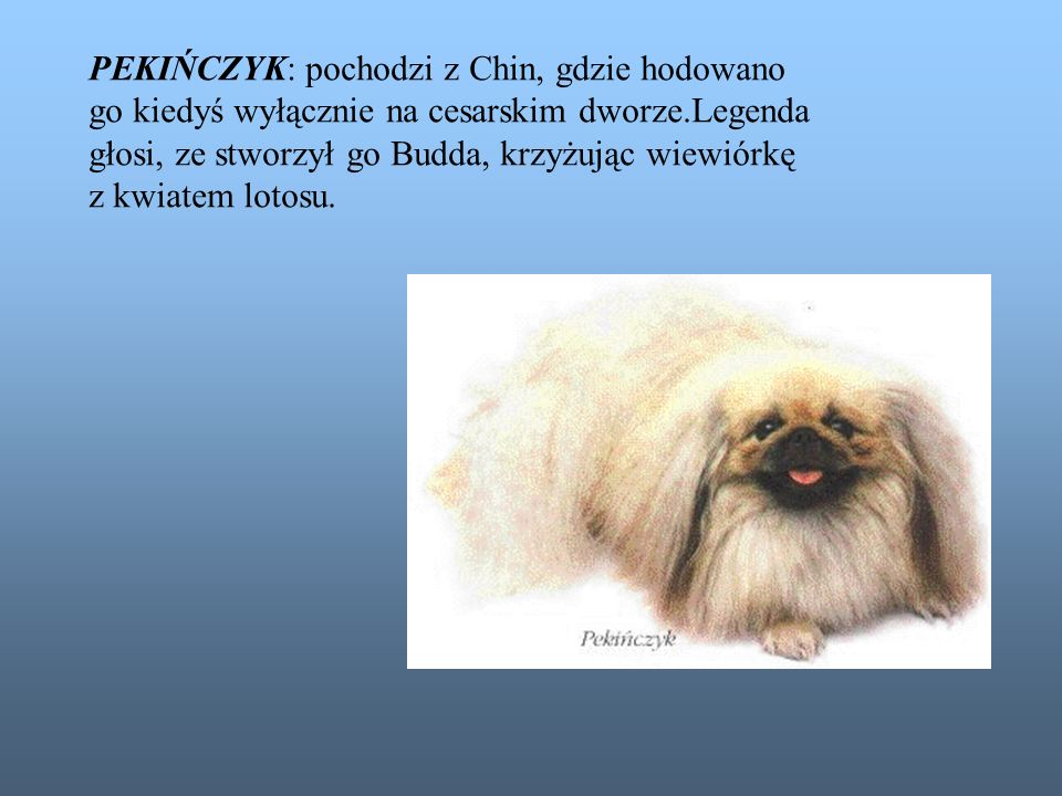 PEKIŃCZYK: pochodzi z Chin, gdzie hodowano
