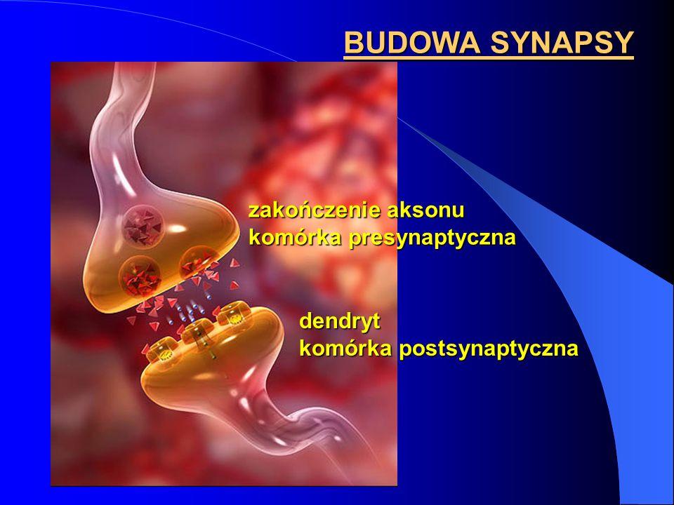 BUDOWA SYNAPSY zakończenie aksonu komórka presynaptyczna dendryt