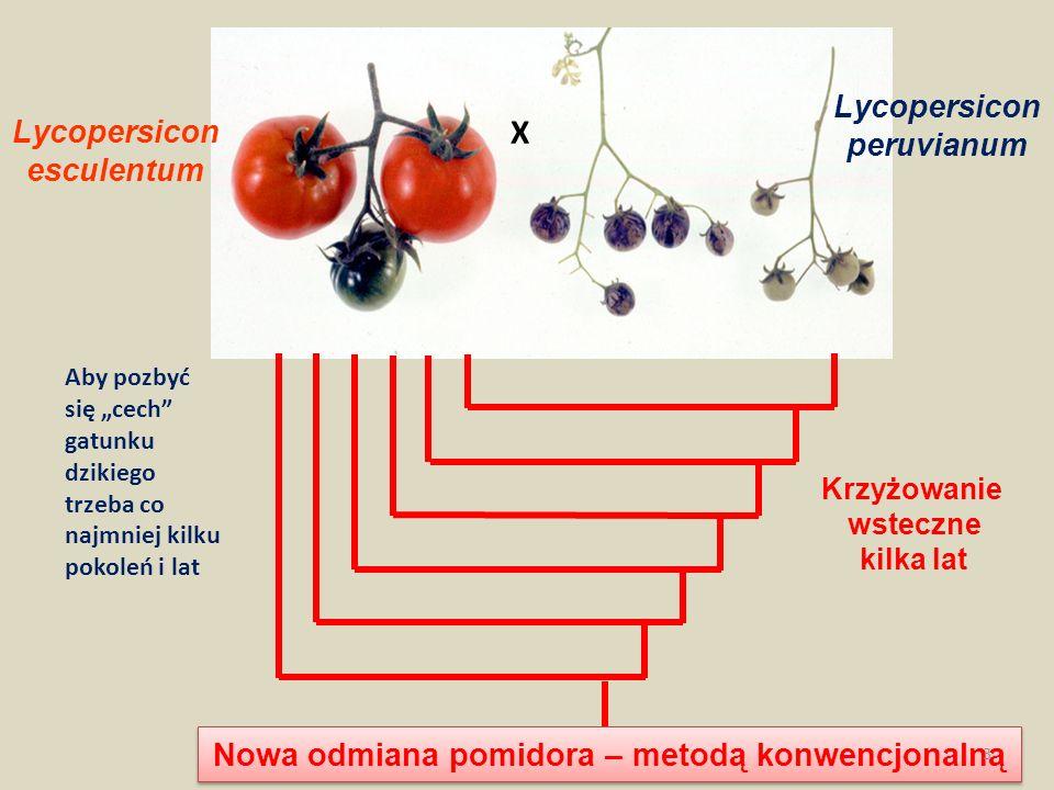 Nowa odmiana pomidora – metodą konwencjonalną