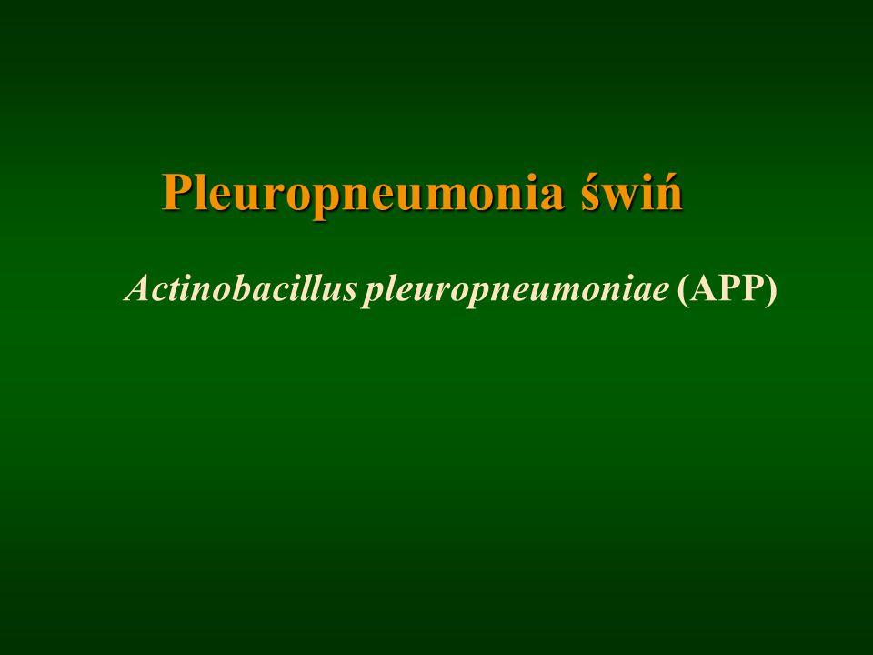 Pleuropneumonia świń Actinobacillus pleuropneumoniae (APP)