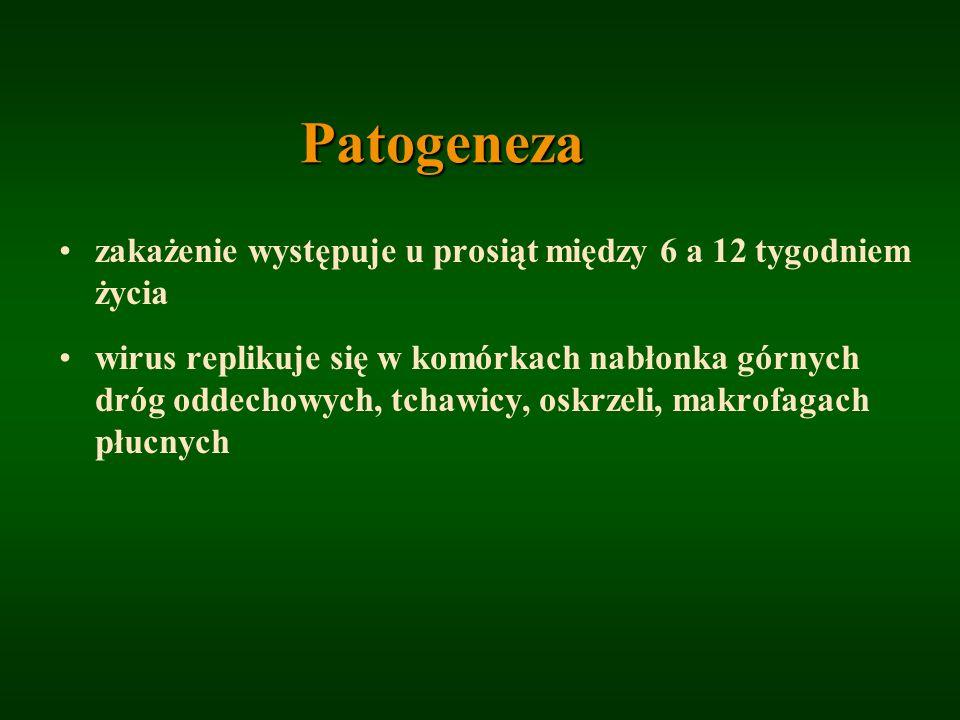 Patogeneza zakażenie występuje u prosiąt między 6 a 12 tygodniem życia