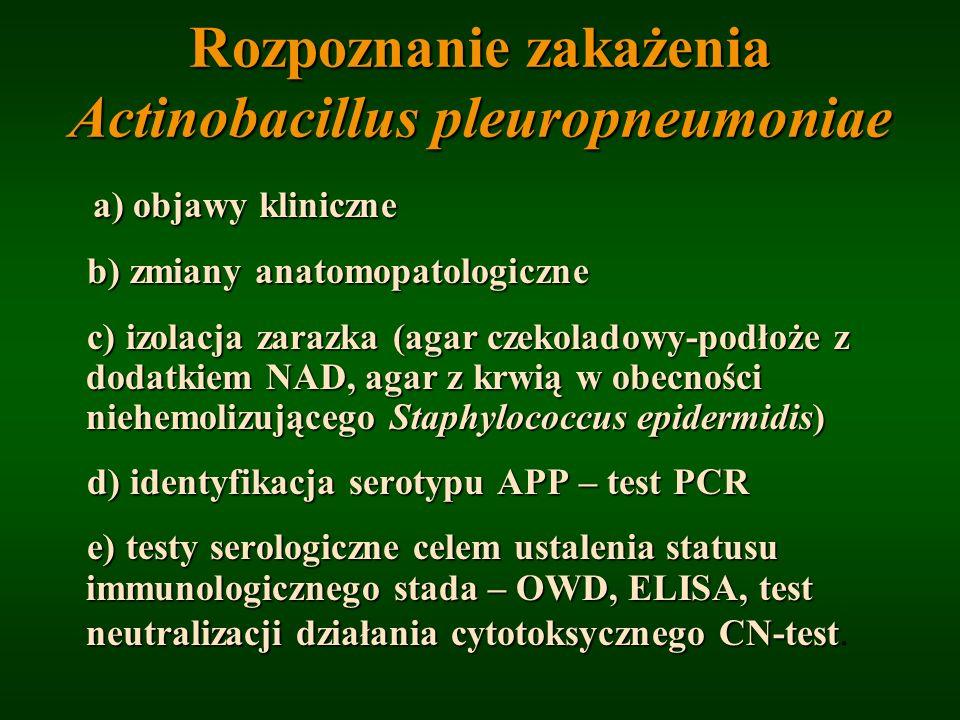 Rozpoznanie zakażenia Actinobacillus pleuropneumoniae
