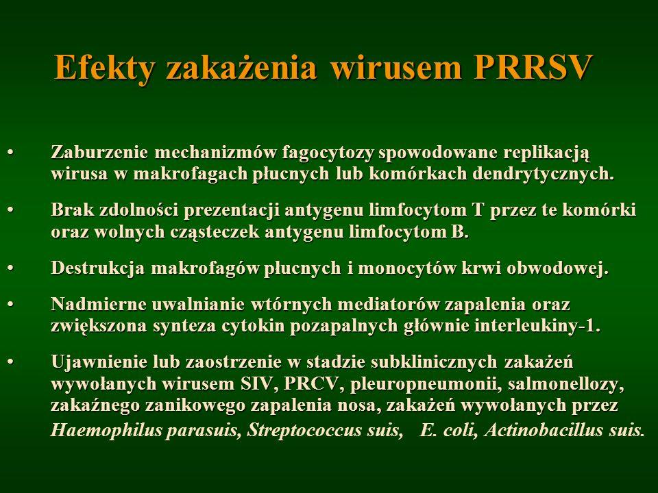 Efekty zakażenia wirusem PRRSV
