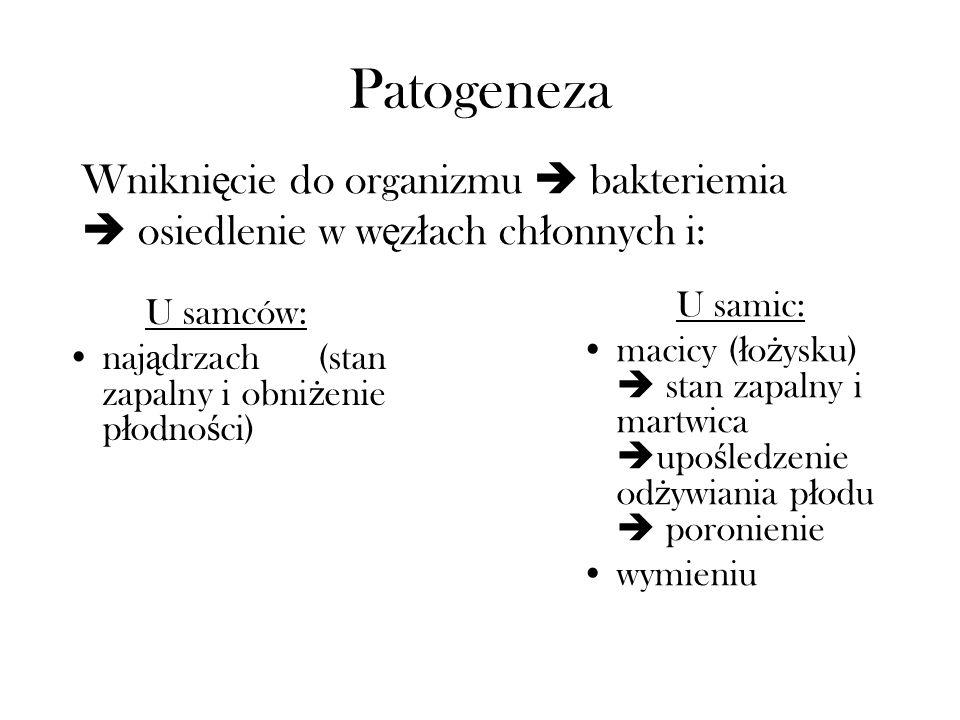 PatogenezaWniknięcie do organizmu  bakteriemia  osiedlenie w węzłach chłonnych i: U samic: