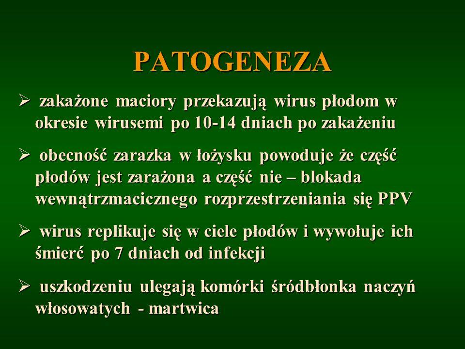 PATOGENEZA zakażone maciory przekazują wirus płodom w okresie wirusemi po 10-14 dniach po zakażeniu.