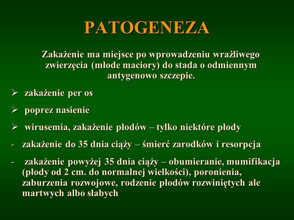 PATOGENEZA Zakażenie ma miejsce po wprowadzeniu wrażliwego zwierzęcia (młode maciory) do stada o odmiennym antygenowo szczepie.