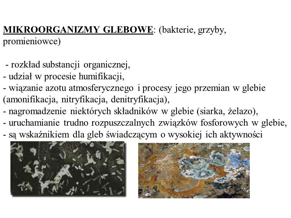 MIKROORGANIZMY GLEBOWE: (bakterie, grzyby, promieniowce) - rozkład substancji organicznej, - udział w procesie humifikacji, - wiązanie azotu atmosferycznego i procesy jego przemian w glebie (amonifikacja, nitryfikacja, denitryfikacja), - nagromadzenie niektórych składników w glebie (siarka, żelazo), - uruchamianie trudno rozpuszczalnych związków fosforowych w glebie, - są wskaźnikiem dla gleb świadczącym o wysokiej ich aktywności