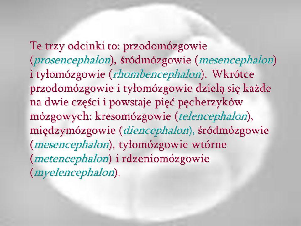 Te trzy odcinki to: przodomózgowie (prosencephalon), śródmózgowie (mesencephalon) i tyłomózgowie (rhombencephalon).