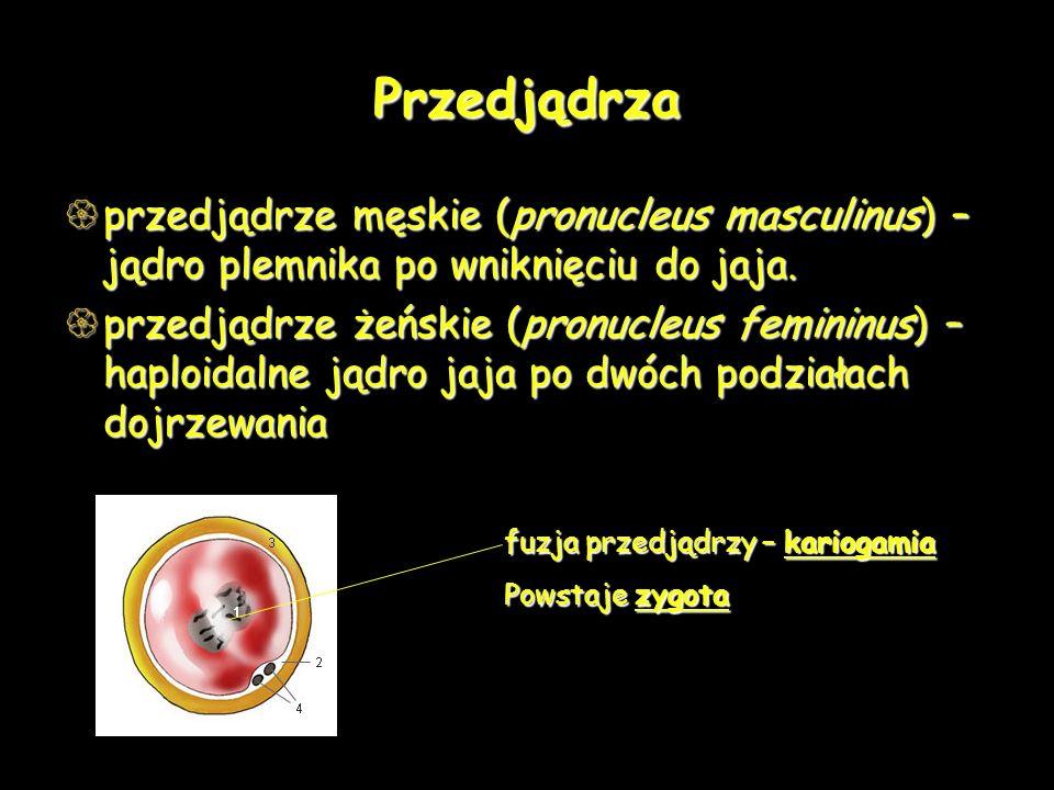 Przedjądrza przedjądrze męskie (pronucleus masculinus) – jądro plemnika po wniknięciu do jaja.