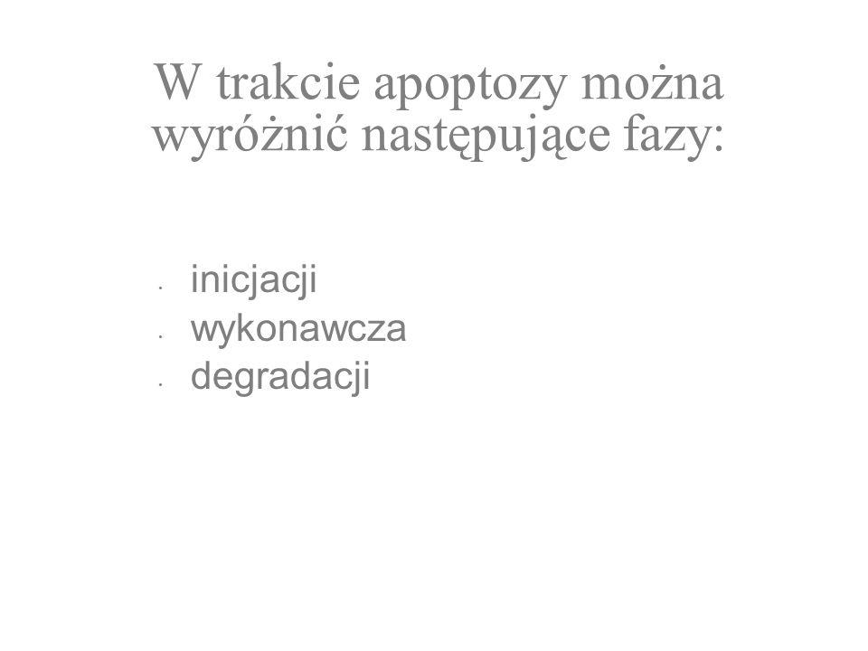 W trakcie apoptozy można wyróżnić następujące fazy: