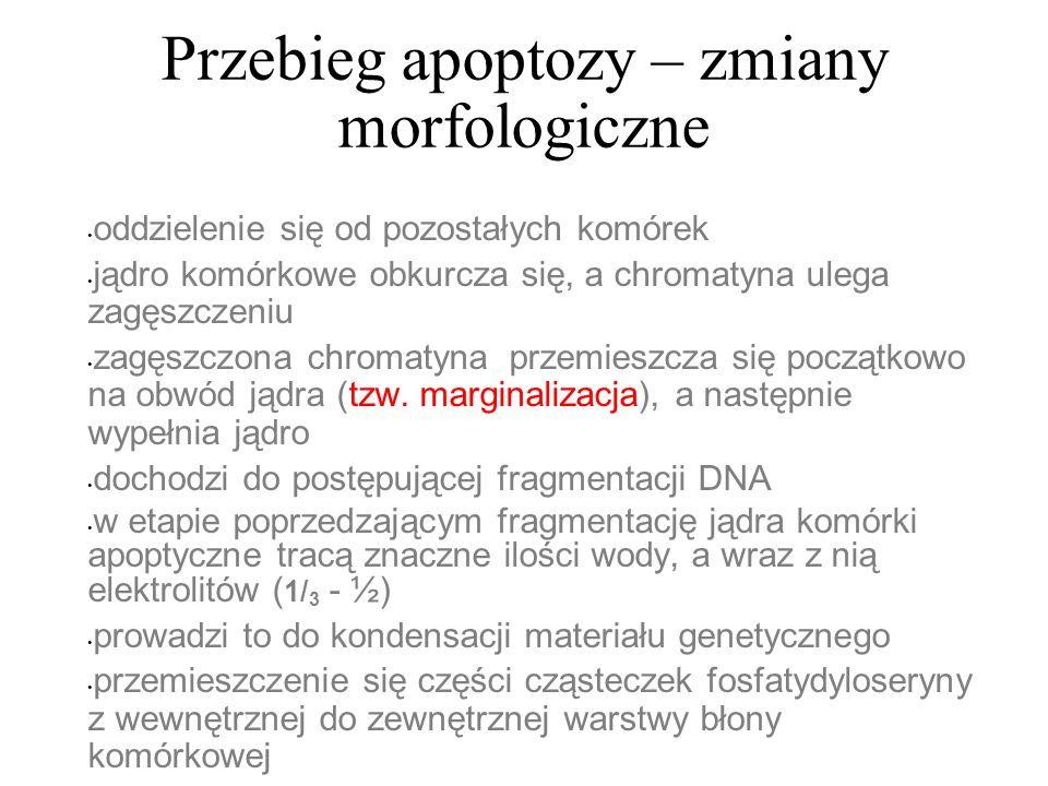Przebieg apoptozy – zmiany morfologiczne