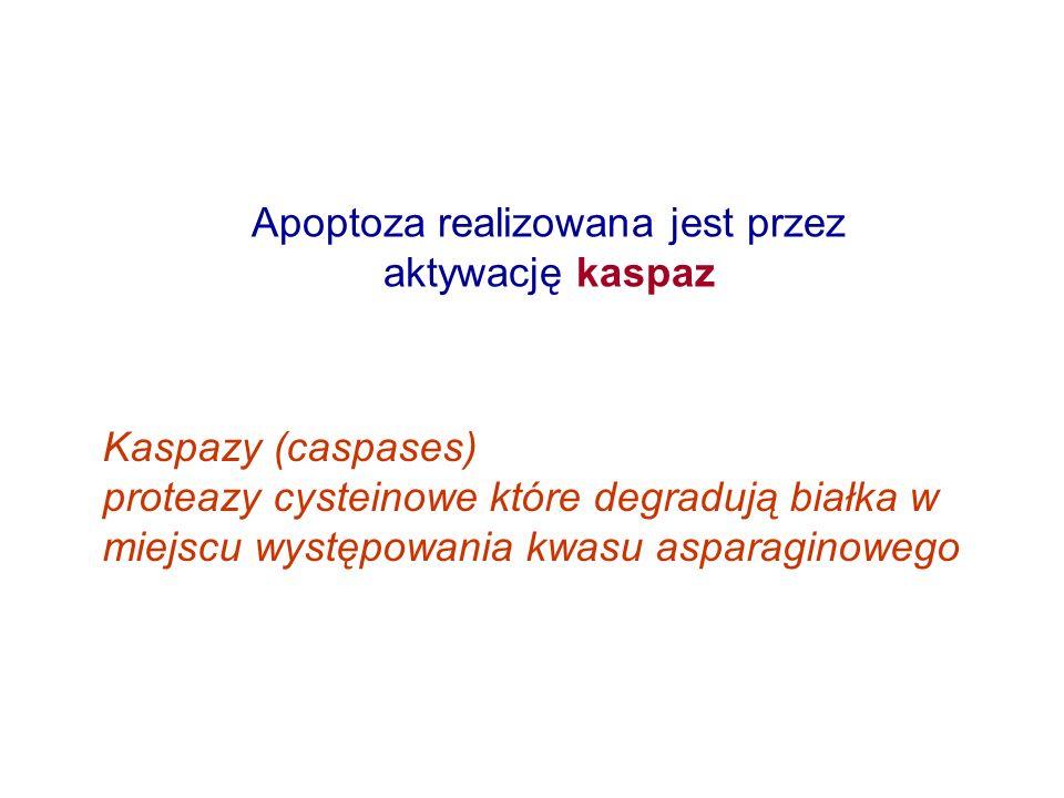 Apoptoza realizowana jest przez aktywację kaspaz