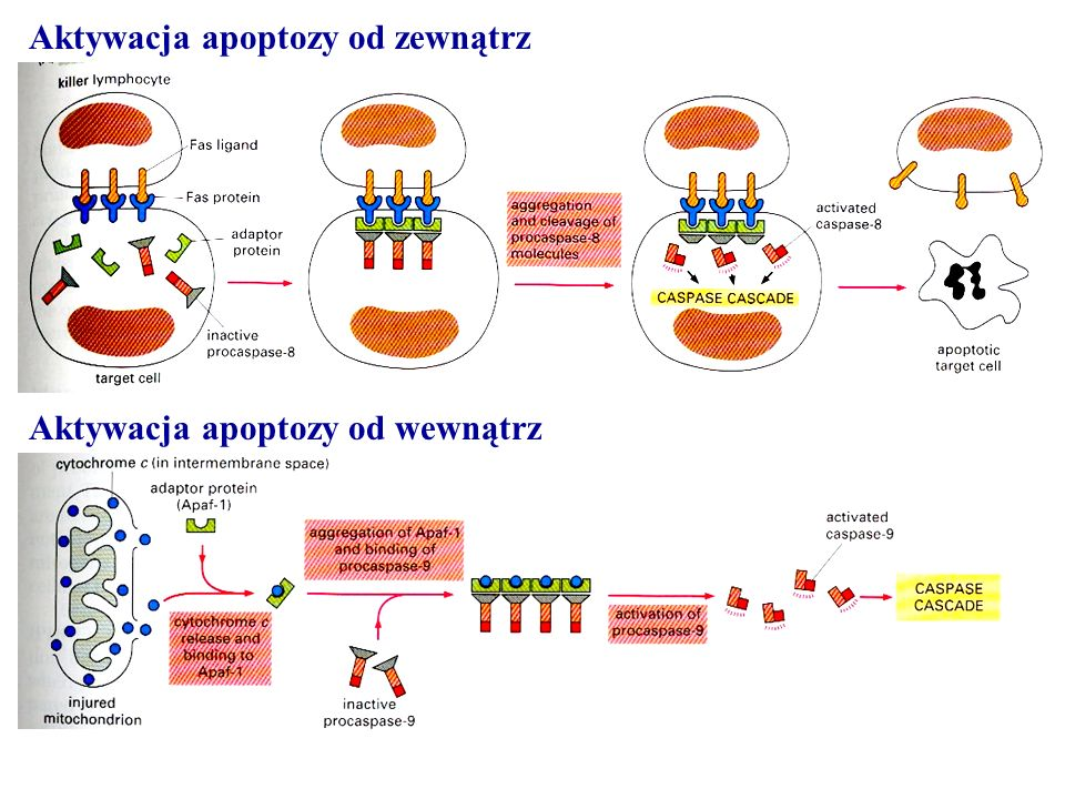 Aktywacja apoptozy od zewnątrz