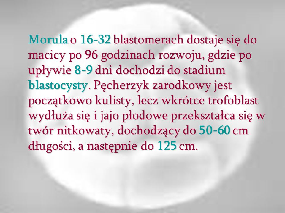 Morula o 16-32 blastomerach dostaje się do macicy po 96 godzinach rozwoju, gdzie po upływie 8-9 dni dochodzi do stadium blastocysty.