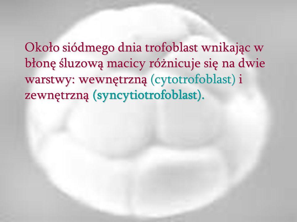 Około siódmego dnia trofoblast wnikając w błonę śluzową macicy różnicuje się na dwie warstwy: wewnętrzną (cytotrofoblast) i zewnętrzną (syncytiotrofoblast).