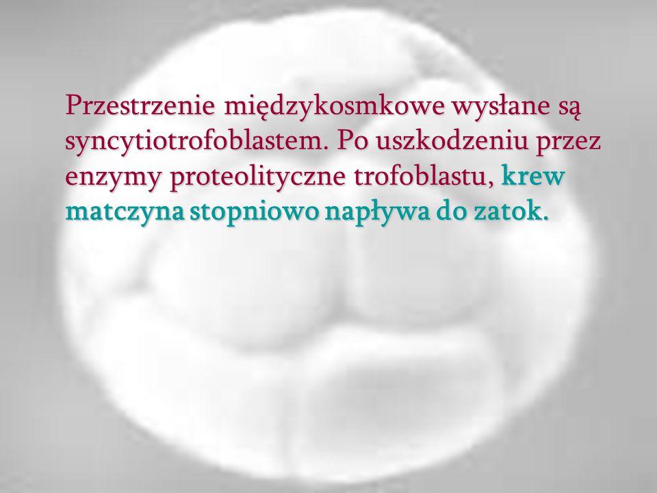 Przestrzenie międzykosmkowe wysłane są syncytiotrofoblastem