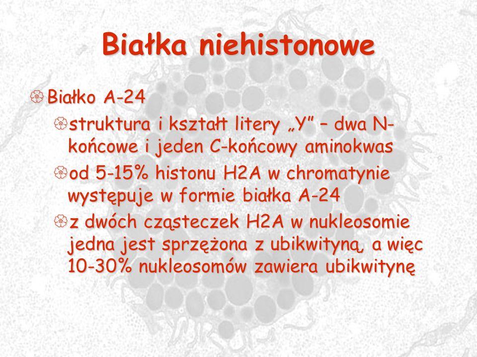 Białka niehistonowe Białko A-24