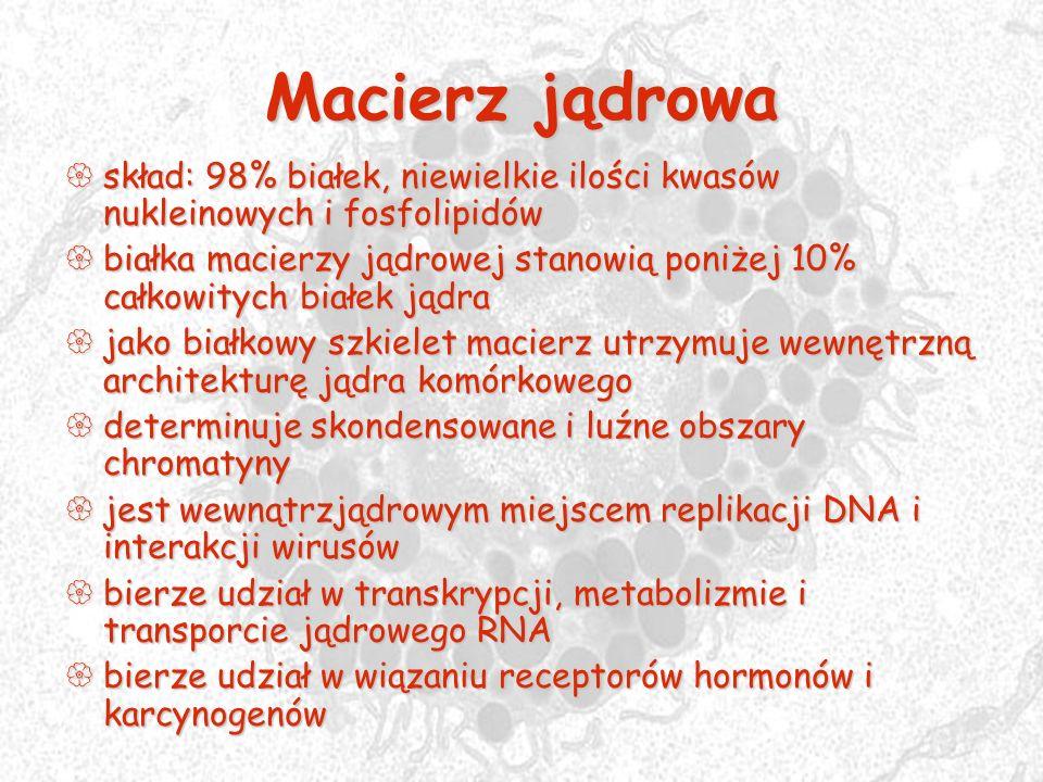 Macierz jądrowa skład: 98% białek, niewielkie ilości kwasów nukleinowych i fosfolipidów.