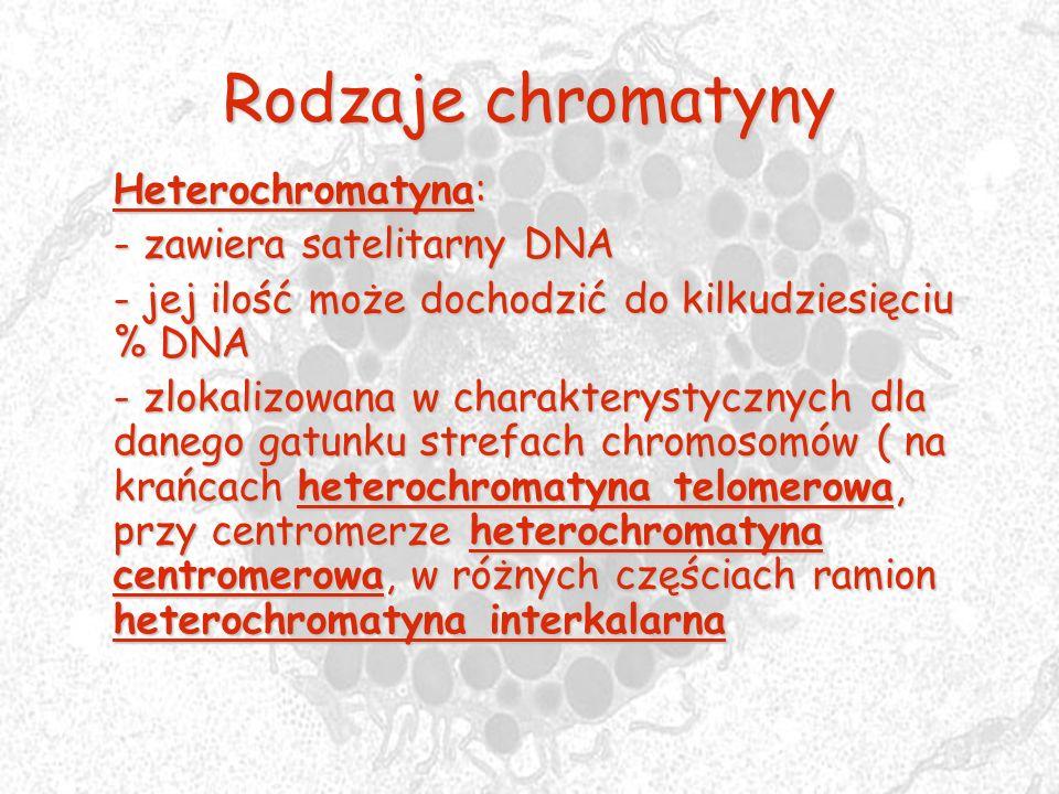 Rodzaje chromatyny Heterochromatyna: - zawiera satelitarny DNA