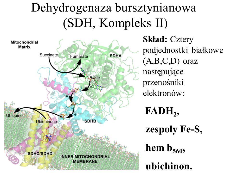 Dehydrogenaza bursztynianowa (SDH, Kompleks II)