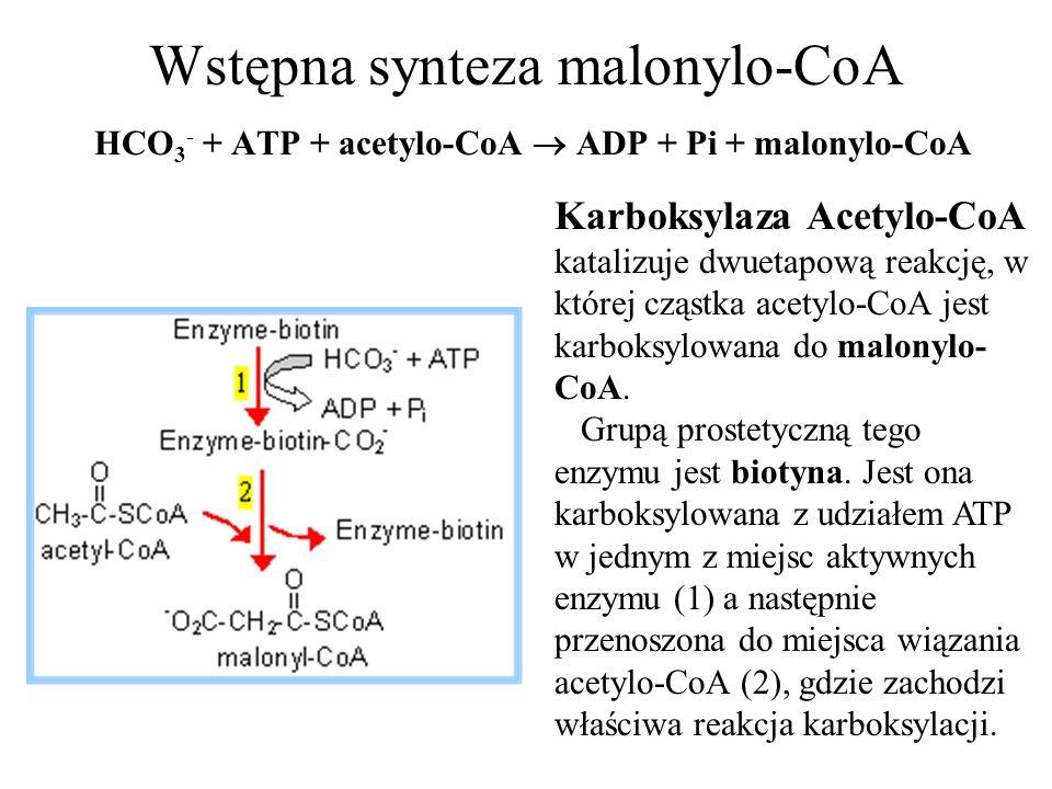 Wstępna synteza malonylo-CoA HCO3- + ATP + acetylo-CoA  ADP + Pi + malonylo-CoA