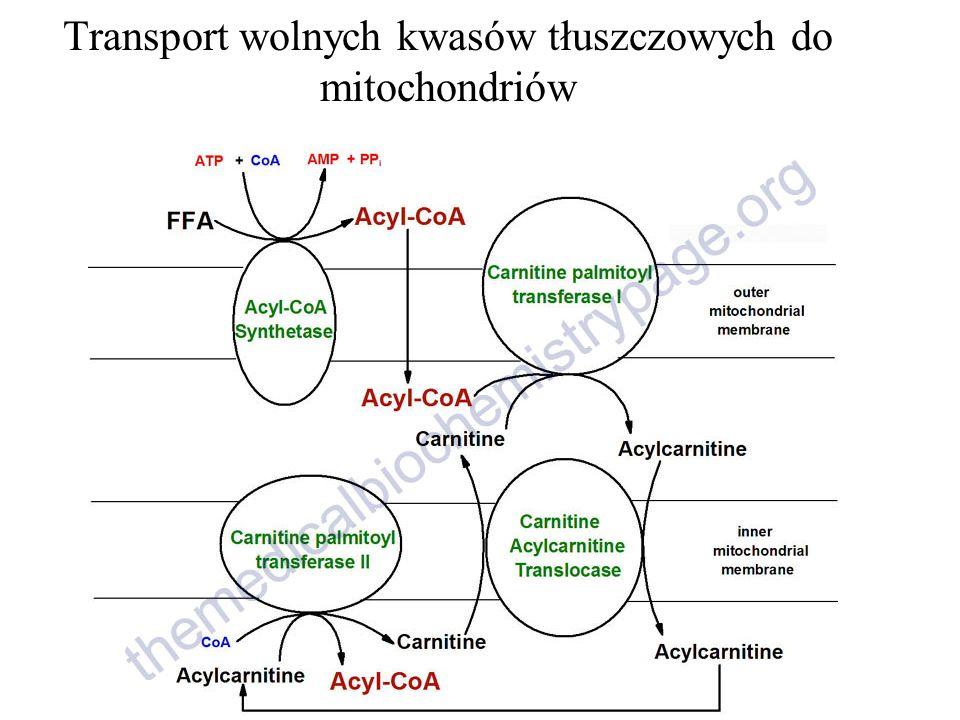 Transport wolnych kwasów tłuszczowych do mitochondriów