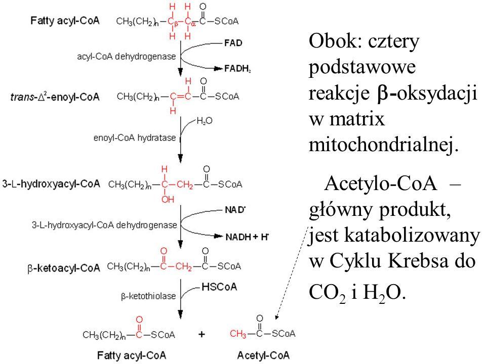 Obok: cztery podstawowe reakcje -oksydacji w matrix mitochondrialnej.