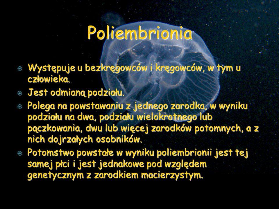 Poliembrionia Występuje u bezkręgowców i kręgowców, w tym u człowieka.
