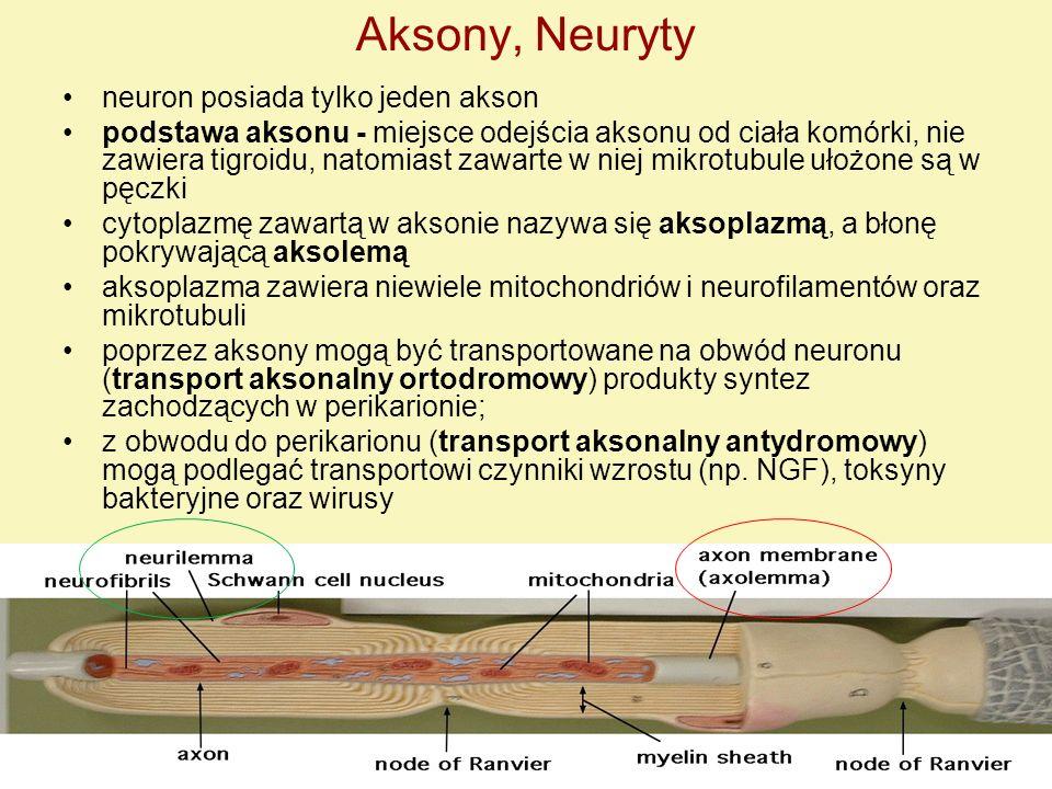 Aksony, Neuryty neuron posiada tylko jeden akson