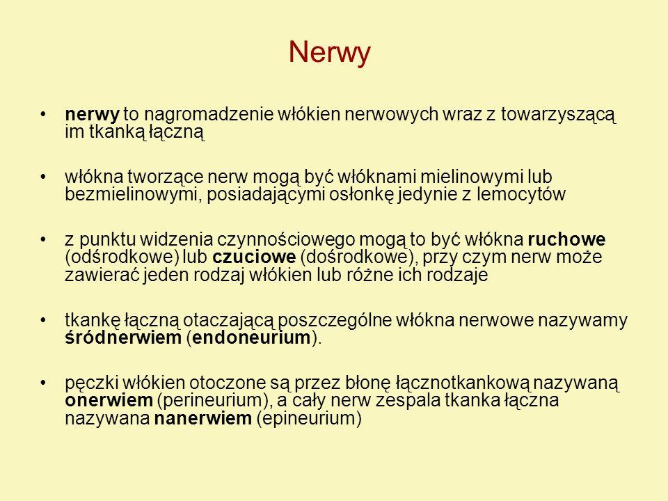 Nerwy nerwy to nagromadzenie włókien nerwowych wraz z towarzyszącą im tkanką łączną.