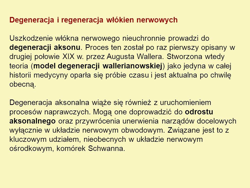 Degeneracja i regeneracja włókien nerwowych