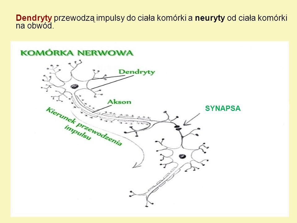 Dendryty przewodzą impulsy do ciała komórki a neuryty od ciała komórki na obwód.